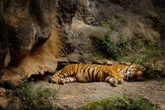 Sleeping Tiger 2. Tiger sleeping in the shade Stock Photo