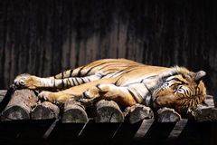 Sleeping Tiger Stock Images