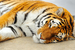Sleeping tiger royalty free stock image