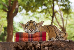 Sleeping tiger. A tiger sleeps with its chin on a pillow Royalty Free Stock Photography
