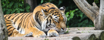 Sleeping Tiger Royalty Free Stock Images