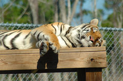 Sleeping Tiger. Sleeping bengal tiger on platform Stock Photo