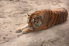 Sleeping tiger Royalty Free Stock Photos