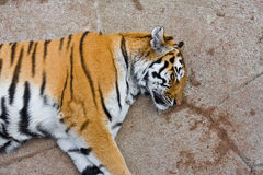 Sleeping tiger. Portrait of tiger sleeping on stone or rock Royalty Free Stock Photography