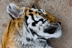 Sleeping tiger. Portrait of sleeping tiger with rock background Royalty Free Stock Photos