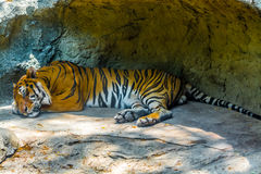 Sleeping Tiger. Stock Photos