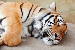 Sleeping Tiger, Chiang Mai, Thailand Stock Image
