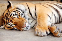 Sleeping Tiger, Chiang Mai, Thailand Royalty Free Stock Photography