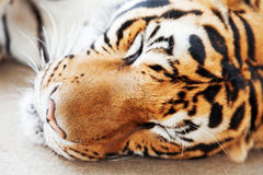Sleeping Tiger Royalty Free Stock Photography