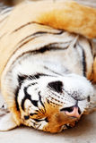 Sleeping Tiger Royalty Free Stock Image