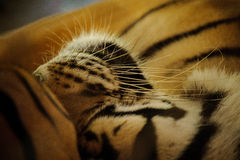 Sleeping tiger close up - shot in  Thailand Stock Image