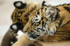 Sleeping Tiger Cub Stock Images
