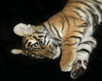 Sleeping Tiger Cub Isolated on Black Royalty Free Stock Photography