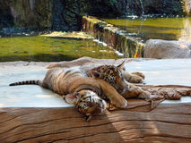 Sleeping tiger cubs Stock Photography