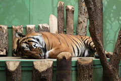 Sleeping tiger Stock Image