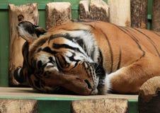 Sleeping tiger Stock Photo