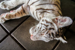 Sleeping tiger. On the floor Royalty Free Stock Photo