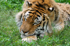 Sleeping Tiger in Grass Stock Image
