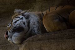 Sleeping tiger. Tiger laying down asleep Stock Image