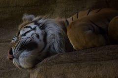Sleeping tiger Stock Image