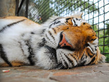 Sleeping Tiger Muzzle. Close up view of the muzzle of sleeping Siberian tiger Royalty Free Stock Image