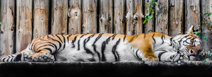 Sleeping tiger (Panthera tigris) close up Stock Image