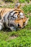 Sleeping Tiger royalty free stock photography