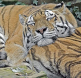 Sleeping tiger 1 Royalty Free Stock Images