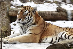 Sleeping tiger on the snow. The tiger (Panthera tigris) is a member of the Felidae family; the largest of the four big cats in the genus Panthera. Native to much Stock Images