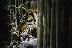 The tiger was asleep. The tiger was sleeping under a bamboo tree Stock Images