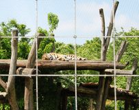 Sleeping tiger on the wood Royalty Free Stock Photos