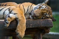 Sleeping tiger on the wood table. Royalty Free Stock Photo