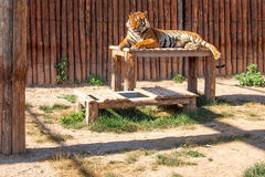 Sleeping tiger and wooden background Stock Photos