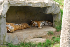 Sleeping Tigers in Den. Two tigers are asleep in their den under rocks / cave Stock Photo