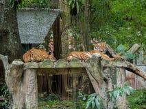 Sleeping Tigers Stock Photo
