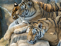 Sleeping tigers. Two of them speeepig Royalty Free Stock Photos