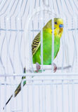 Sleeping time for budgie Royalty Free Stock Images