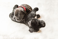Sleeping tiny Staffordshire Bull terrier puppy lying on a cuddly Royalty Free Stock Images