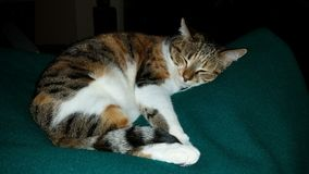 Sleeping calico cat. Green blanket royalty free stock images