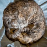 Sleeping tortoiseshell tabby cat curled up on blanket. Sleeping tortoiseshell tabby cat curled up into a ball on grey blanket royalty free stock images