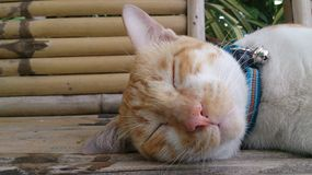 Sleeping Tri-colors face cat wood background Royalty Free Stock Image