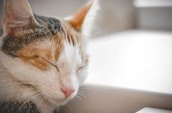 Sleeping tricolor cat. Cute kitten. royalty free stock photos