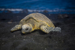 Sleeping Turtle Royalty Free Stock Photography