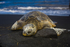 Sleeping Turtle. Along the black sand beach of the Big Island royalty free stock photo