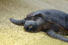 Sleeping Turtle Royalty Free Stock Image