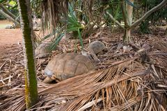 Sleeping turtles in La Vanille natural park, Mauritius royalty free stock images