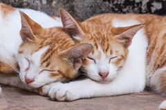 Sleeping twin cat Royalty Free Stock Image