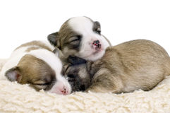 Sleeping two weeks old Chihuahua puppies Stock Photo