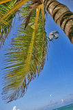 Sleeping under the palm. Young spreading palm with yellowing leaves under the scorching sun, fan palms  swaying in the wind. The kite of one of kiters is high Stock Photo