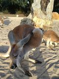 Sleeping upright. Australian kangaroo sleeping Stock Images